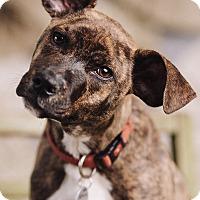 Adopt A Pet :: Billy - Portland, OR