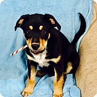 Adopt A Pet :: Moose - Snyder, TX