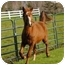 Photo 1 - Appendix/Quarterhorse Mix for adoption in El Dorado Hills, California - Rinaldo