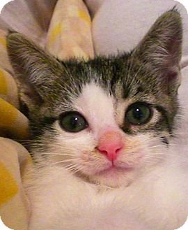Domestic Shorthair Kitten for adoption in Narberth, Pennsylvania - Laredo