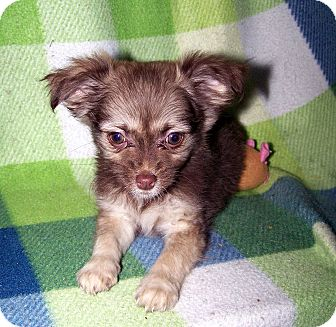 Pomeranian/Chihuahua Mix Puppy for adoption in Sherman, Connecticut - Prairie Betty's Dog