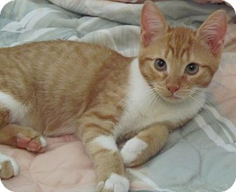 Domestic Shorthair Kitten for adoption in Seminole, Florida - Ross