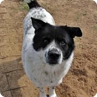 Akita Mix Dog for adoption in Quinlan, Texas - Sport