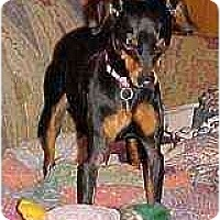 Adopt A Pet :: Trixie - Florissant, MO