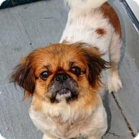 Adopt A Pet :: Chloe Girl - Chantilly, VA