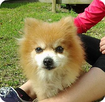 pomeranian rescue in florida seuss adopted dog 6912878 tallahassee fl 1266