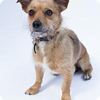 Adopt A Pet :: Nutmeg - Santa Barbara, CA