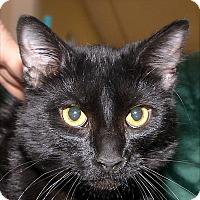 Adopt A Pet :: Midnight - Medina, OH