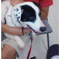 Pointer/American Bulldog Mix Dog for adoption in Miami, Florida - Cesar