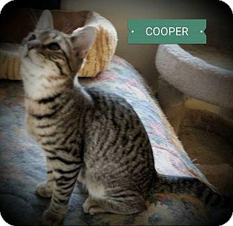 Domestic Mediumhair Cat for adoption in Fairborn, Ohio - Cooper