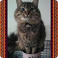 Maine Coon Cat for adoption in Fort Worth, Texas - Garage