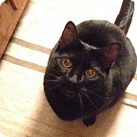 Domestic Shorthair Cat for adoption in Harrisonburg, Virginia - Shyanne