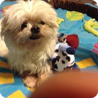 Maltese Dog for adoption in San Fernando Valley, California - Simon