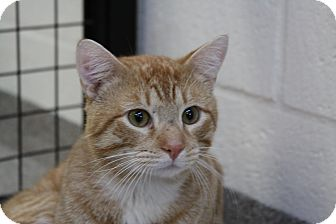 Domestic Shorthair Cat for adoption in Sarasota, Florida - Jimi