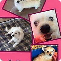 Adopt A Pet :: Patty - Scottsdale, AZ