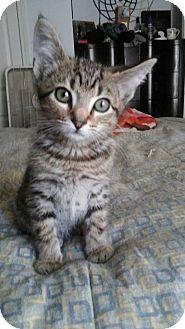 Domestic Shorthair Kitten for adoption in Greensboro, North Carolina - Chester