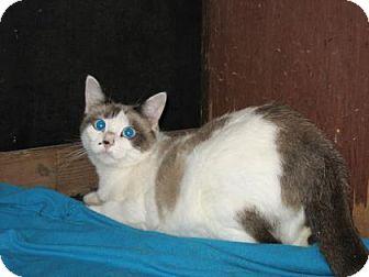 Snowshoe Cat for adoption in Bulverde, Texas - Sapphire 3
