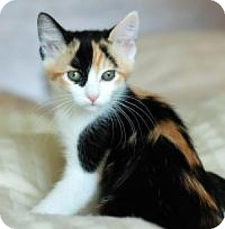 Calico Kitten for adoption in San Carlos, California - Juno
