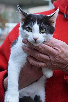 American Shorthair Cat for adoption in Vacaville, California - Moo