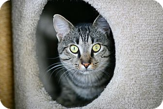 Domestic Shorthair Cat for adoption in Coronado, California - Phoenix