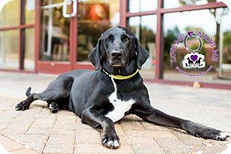 Great Dane/Doberman Pinscher Mix Dog for adoption in Huntersville, North Carolina - Beasley