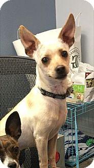 Greyhound/Chihuahua Mix Dog for adoption in Las Vegas, Nevada - Paul Anka