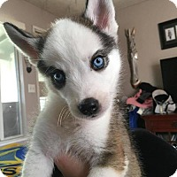 Husky Mix Puppy for adoption in Los Banos, California - Little Sprout