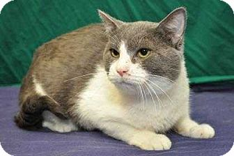 Domestic Shorthair Cat for adoption in South Bend, Indiana - Toga