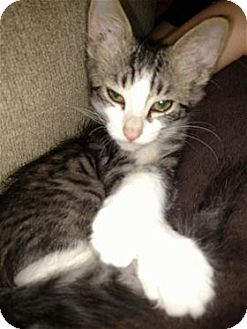 Domestic Shorthair Kitten for adoption in Rocklin, California - Tracker