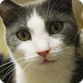 Domestic Shorthair Cat for adoption in Larned, Kansas - Snap
