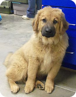 German shepherd dog chow chow mix puppy for adoption in melbourne