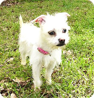 Maltese/Shih Tzu Mix Dog for adoption in Mocksville, North Carolina - Sugar