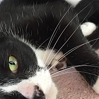 Domestic Shorthair Cat for adoption in Oakdale, California - Boots
