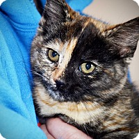 Adopt A Pet :: Haley - Xenia, OH