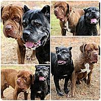 Adopt A Pet :: Biggie & Jada - Forked River, NJ