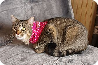 Domestic Shorthair Cat for adoption in Jackson, Mississippi - Kevin Bacon