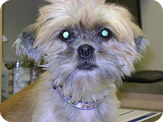 Shih Tzu Dog for adoption in Griffith, Indiana - KELSEY ANN 15-718