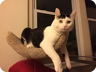 Domestic Shorthair Cat for adoption in Chicago, Illinois - Mr. Whiskers