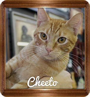 Domestic Shorthair Cat for adoption in Wichita Falls, Texas - Cheeto