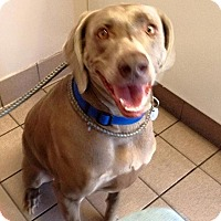 Weimaraner Dog for adoption in Sun Valley, California - Bella too