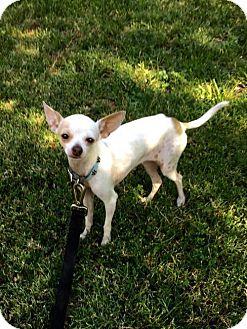 Chihuahua Dog for adoption in Santa Clarita, California - Dainty
