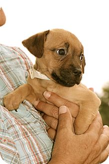 Retriever (Unknown Type)/Anatolian Shepherd Mix Puppy for adoption in Billerica, Massachusetts - Chuck