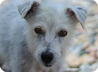 Terrier (Unknown Type, Small) Mix Dog for adoption in Colorado Springs, Colorado - Duchess