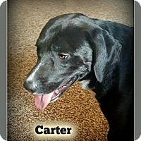 Adopt A Pet :: Carter - Doylestown, PA