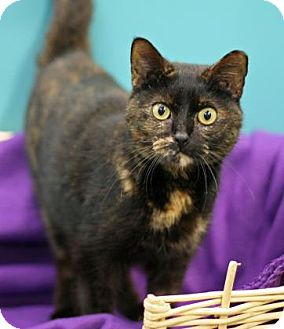 Domestic Shorthair Cat for adoption in New Orleans, Louisiana - Athena