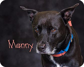 Labrador Retriever Mix Dog for adoption in Somerset, Pennsylvania - Manny