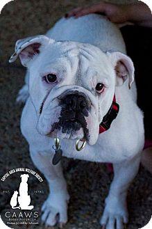 English Bulldog Dog for adoption in Baton Rouge, Louisiana - Ellie