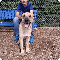 Shar Pei/Labrador Retriever Mix Dog for adoption in Florence, Kentucky - Hank