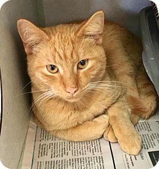 Domestic Shorthair Cat for adoption in Manteo, North Carolina - Saffron