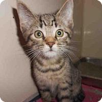 Domestic Mediumhair Kitten for adoption in Pittsburgh, Pennsylvania - MIKE